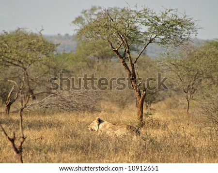 Lioness in the Kruger National park, South Africa