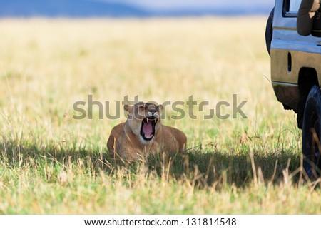 Lioness in the shadow of a safari car, Masai Mara, Kenya