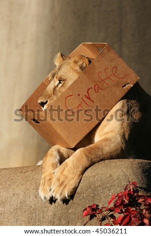 Lioness laying down with box around neck that says giraffe