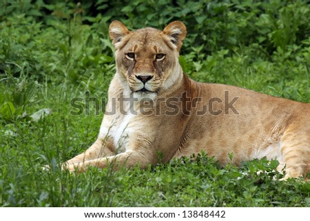 Lioness laying in the grass.