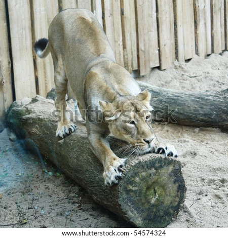 Lioness, living in territory of a zoo