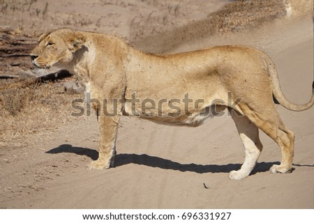Lioness looking for food #696331927