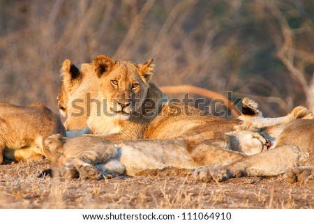Lioness looks on as her family sleep, Kruger National Park