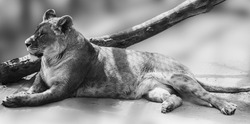 Lioness lying down on blurred sandy background. Full length black and white portrait. Close grayscale view on relaxed lion female with selective focus. Wild animals watching, big cat