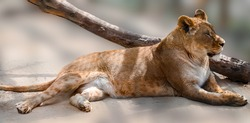 Lioness lying down on blurred sandy background. Full length portrait. Close view on relaxed lion female with selective focus. Wild animals watching, big cat