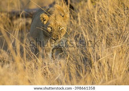 Lioness move in brown grass to a kill #398661358