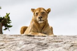 Lioness on a granite kopje in Serengeti National Park in Tanzania