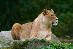 lioness on a stone