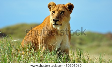 Lioness on the prowl in Serengeti National Park, Tanzania.