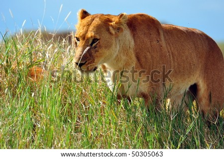 Lioness on the prowl in Serengeti National Park, Tanzania