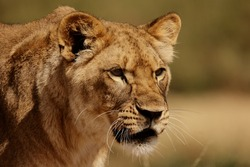 Lioness (Panthera leo) looking for a meal.