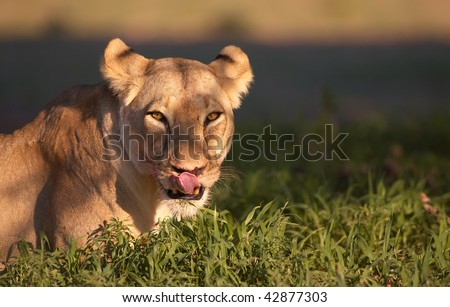 Lioness (panthera leo) lying in savannah licking her lips after eating in South Africa