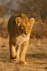 Lioness (Panthera leo) walking in early morning light, South Africa