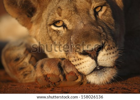 Lioness rest on paw with ant #158026136