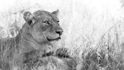 lioness resting in kruger national park