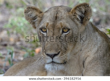 Lioness resting in shade #396182956