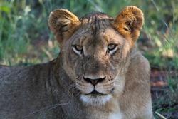 Lioness resting, Kruger National Park, South Africa