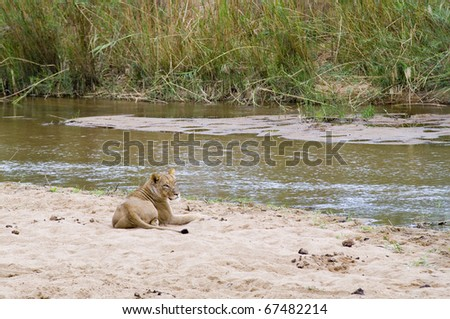 Lioness resting on the river banks
