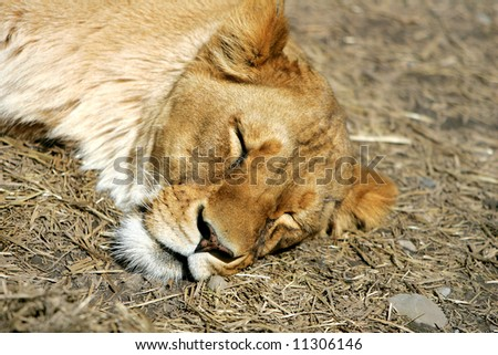 lioness resting peacefully on the ground asleep
