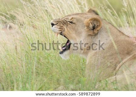 Lioness roaring #589872899