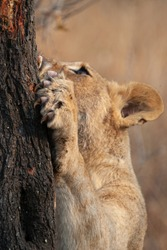 Lioness sharpening claws before a hunt on a safari in South Africa