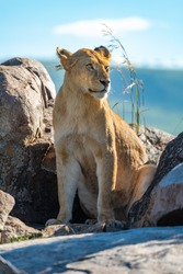 Lioness sits on rocky outcrop in sun