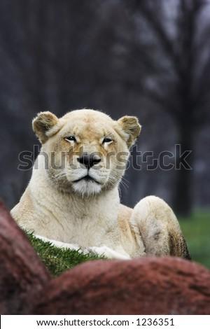 Lioness sitting on grass behind rocks