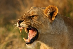 Lioness snarling