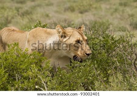 Lioness stalking - stock photo