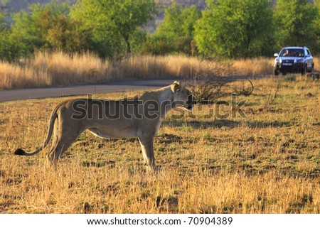 Lioness stalking antelope in African national park with a tourist car in the background