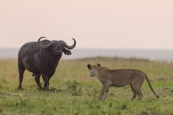 Lioness standing in front of an African buffalo in Masai Mara