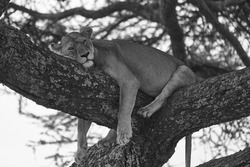 Lioness tree climbing Serengeti - Lion black and white