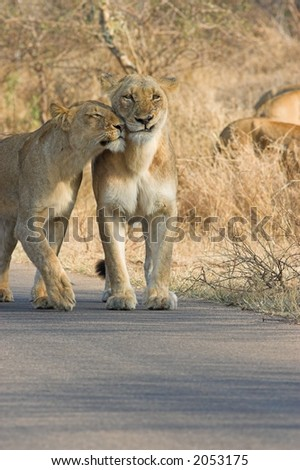 Lioness trying to show some affection to another in the pride