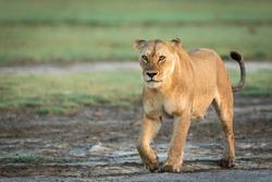Lioness walking in Ndutu in Tanzania