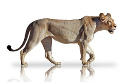 Lioness walking on white background with mirror reflection.