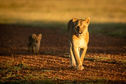 Lioness walking with cub along gravel airstrip