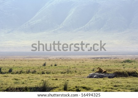 lioness watching it's territory from rock