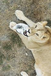 Lioness with chicken