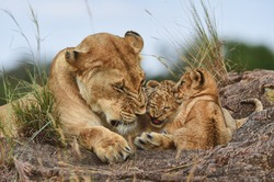 Lioness with her cubs and mother's tenderness in the wild