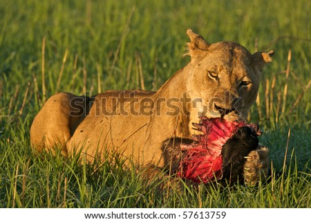 Lioness with part of a wildebeest. Lions often scavenge for food, so she may have stolen it.