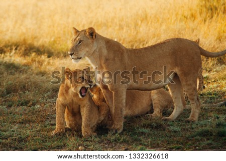 Lioness with roaring cub #1332326618