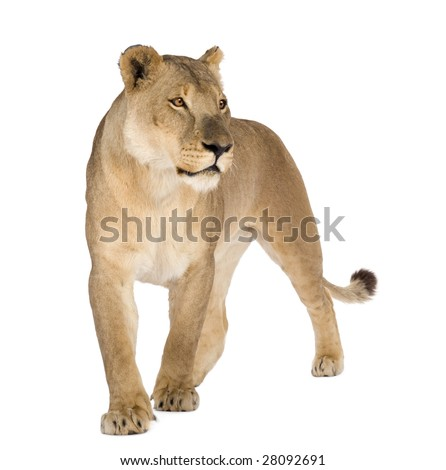 Lioness Front View Lioness  8 years  - Panthera