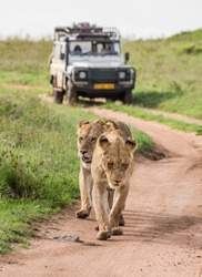Lionesses walk along the road against the backdrop of a car with tourists. Africa. Tanzania. Serengeti National Park.