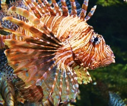 Lionfish, an invasive species also called the scorpion fish or Pterois
