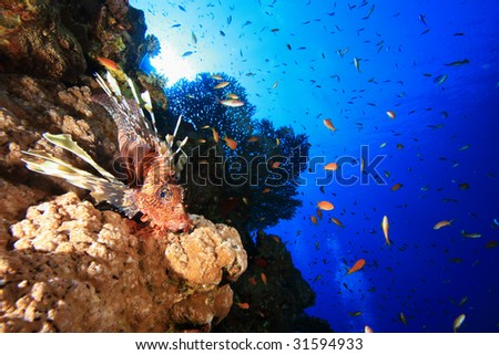Lionfish and Table Coral
