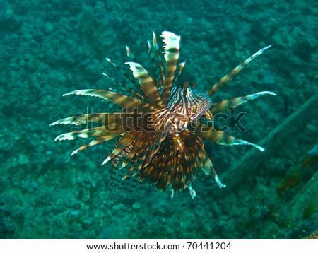 Lionfish at sipadan.