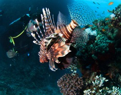 Lionfish, coral reef and young diver.