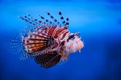 Lionfish (dendrochirus zebra)