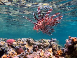 Lionfish Fish - type bone fish Osteichthyes. Scorpaenidae. Winged warrior. Fish zebra. Lionfish, Corphene, Lionfish Warrior, Zebra Fish,
