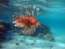 Lionfish Fish - type bone fish Osteichthyes. Scorpaenidae. Winged warrior. Fish zebra. Lionfish, Corphene, Lionfish Warrior, Zebra Fish.